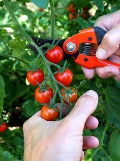 Tomate cerise : planter et cultiver des tomates-cerises