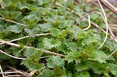 And Here We Are...: Foraging for Nettles: It's Fun, I Promise! / http://and-here-we-are.blogspot.co.uk/2013/03/foraging-for-nettles-its-fun.html