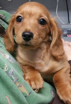 Copper the Long Haired Doxie! So cute! #Altalomaanimalhospital #LHDoxie #doxiepuppy #adorable