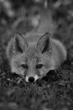 Image via We Heart It https://weheartit.com/entry/175536213/via/24664606 #animal #blackandwhite #cute #eyes #fox #photography