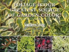 When planning for color in your garden, think beyond the blossom. Foliage is our greatest source of garden color offering a great range of hues, and provides continuity throughout the seasons.