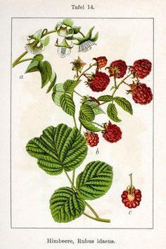 Framboos - Rubus idaeus
