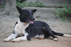 Handsome black and white INDog outside Guwahati, Assam. Clicked by Kiran Khalap.