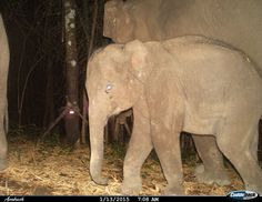 A shy-looking Asian elephant caught by a camera trap in Huai Kha Khaeng Wildlife Sanctuary of Thailand.  CREDIT: Dept. of National Parks, Wildlife and Plant Conservation and WCS Thailand Program.