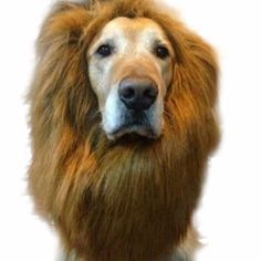 Like and Share if you want this  Fancy Dress Up Lion Beard Wig Costume For Cute Pets & Dogs   Tag a friend who would love this!   FREE Shipping Worldwide   Buy one here---> https://gleepaw.com/fancy-dress-up-pet-costume-cat-halloween-clothes-lion-mane-wig-for-large-dogs/