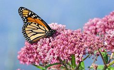 According to the Xerces Society for Invertebrate Conservation, Monarch butterflies just lost nearly one-third of their population