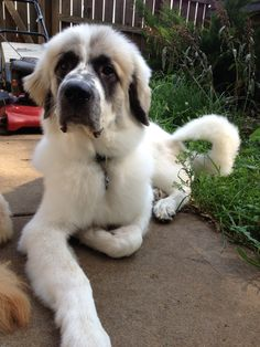 Pyrenean Mastiff puppy Pyrenean Mastiff, Mastiff Puppies, Bow Wow, Dog Lady, Schnauzer, Livestock, Ol, Doggies, Journey