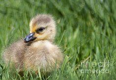 Title: Baby Goose Artist: Michael P Ray Medium: Photograph - Photography