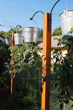 Grow Tomatoes in Hanging Buckets