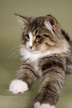 Noorse Boskat http://www.mainecoonguide.com/maine-coon-vs-norwegian-forest-cat/