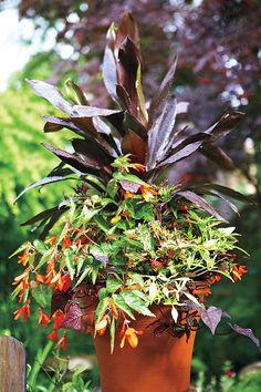 Encanto orange' tuberous begonia (Begonia [Waterfall Series] 'Encanto Orange' [T])      Caruba black ti tree (Cordyline fruticosa 'Bra01')      'Ace of Spades' sweet potato vine (Ipomoea batatas 'Ace of Spades')      Emerald Lace sweet potato vine (Ipomoea batatas [Illusion Series] 'NC0RNSPO12EMLC')      'Witch Doctor' coleus (Solenostemon 'Witch Doctor')