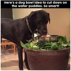 Dog messy while drinking water? + Other Dog Hacks: Consider hiding your dog bowl in a plant so excess, splashed water will water the plant. Tips & Hacks For Your Dog .that you wish you knew a long time ago on Frugal Coupon Living. Dog Hacks, Dog Care, Mans Best Friend, Dog Mom, Dog Treats, Dog Bowls, Dogs And Puppies, Doggies, Animals And Pets