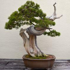 bonsai tree uk