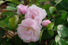 """Marie Daly  --  A pinker sport of Marie Pavie (see below). Grows 2-3ft. tall & wide. Prolific 2"""" semi-double blooms, 17-25 petals, strong musk fragrance. Graceful rounded form, great in a container or as a low hedge. Full sun & good air circulation keep these older polyanthas disease-free. Found rose, date unknown."""