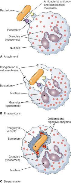 #OKILAB te muestra: Con esta imagen ya no se te olvidará el mecanismo de defensa de la fagocitosis. Phagocytosis. The figure shows ingestion' digestion' and destruction of foreign particulate matter (a bacterium' in this example)