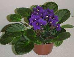 Violeta africana, Saintpaulia - Saintpaulia ionantha