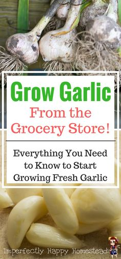Growing garlic in your garden. Growing Grocery Store Garlic! A few simple tips and you'll have fresh garlic right outside your door.