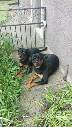 I want a pair of Rotts.