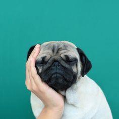 Pug Domination