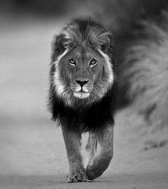 Leeuw wilde dieren
