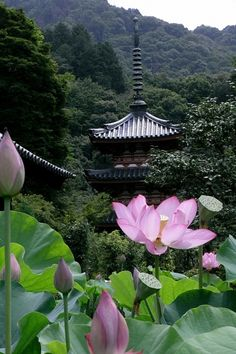 Lotus flowers at Mimurotoji temple in Kyoto, Japan Wonderful Places, Beautiful Places, Beautiful Pictures, Japon Tokyo, Japanese Temple, Japanese Water, Asian Garden, Go To Japan, Zen Meditation