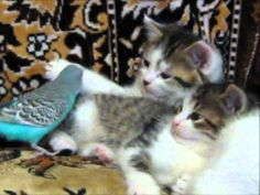 Kittens and parakeet living in a paradise of face-biting Slavic cuteness