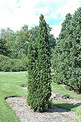Degroot's Spire White Cedar (Thuja occidentalis 'Degroot's Spire') at Oakland Nurseries Inc