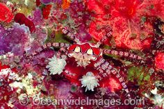 Boxer Crab stinging Sea Anemones