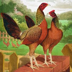 Ludlow Poultry – 1876 Chromolith – Henny Game Cassell's Poultry Book | eBay
