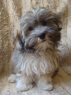 Havanese - now I know what a havanese looks like and it does look just like my little Luna! Havanese - now I know what a havanese looks like and it does look just like my little Luna! Havanese Grooming, Havanese Puppies, Cute Puppies, Cute Dogs, Dogs And Puppies, Doggies, Maltipoo, Animals And Pets, Baby Animals