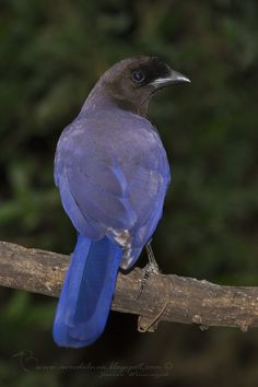 Urraca morada (Purplish jay) Cyanocorax cyanomelas - Aves del NEA