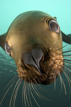 Sea lion stops to admire his reflection in photographer's camera