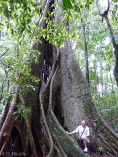 Ficus obliqua (small-leaved fig) in Mary Cairncross Reserve, near Melany, Queensland. One of the largest trees in Queensland. Circumference: 16.55 metres. Height: 48.5 metres.