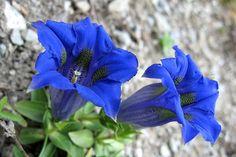 Stemless Gentian: Gentiana acaulis [Family: Gentianaceae] - ©: Bolliger Hanspeter--pixelio.de