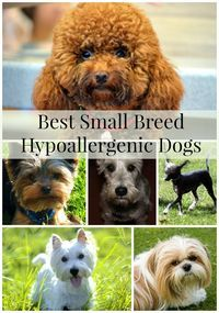 Best Small Breed Hypoallergenic Dogs- DogVills Don't let allergies keep you from your dream of having a Check out these best hypoallergenic small breeds! Dog Breeds That Dont Shed, Best Dog Breeds, Large Dog Breeds, Small Breed, Large Dogs, Small Dogs, Best Dogs, Best Small Family Dogs, Small Puppy Breeds