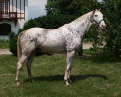 Anglo-Arabian stallion Cigalo des Pres