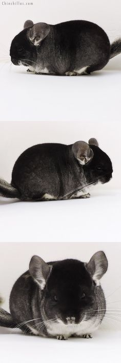 Blocky Brevi Type Show Quality Black Velvet Female Chinchilla