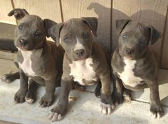 Pitbull Puppies. Punish the deed, not the breed!!!!!!