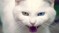 Image result for white cats photos