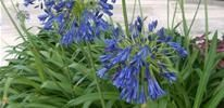 apaganthus - site for the best swimming pool landscaping plants