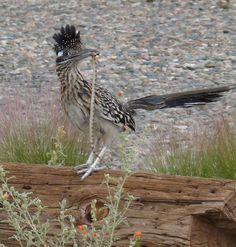 One reason I love roadrunners.they eat snakes. Road Runner Bird, Arizona Game And Fish, Arizona Birds, Sonora Desert, Birds Of Prey, Hummingbirds, Dragonflies, Tucson, Snakes
