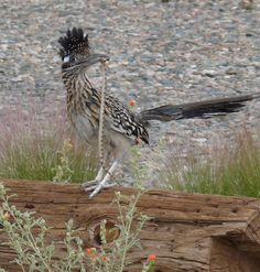One reason I love roadrunners...they eat snakes.