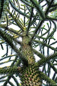 Araucaria araucana (Monkey puzzle tree) is an evergreen tree growing to 40 metres tall with a 2 metres trunk diameter. The tree is native to central and southern Chile, western Argentina, and southern Brazil. Trees And Shrubs, Trees To Plant, Bonsai, Monkey Puzzle Tree, Weird Trees, Unique Trees, Old Trees, Nature Tree, Tree Leaves