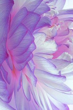 purple peony /// #purple #peony #gorgeous jolie  pivoine  frele   ,delicate ,,,,,,**+