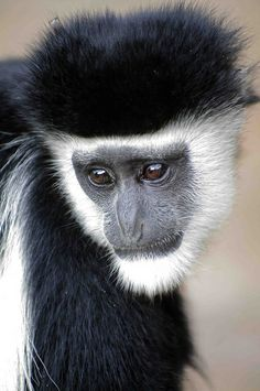 Black and White Colobus Monkey  by masaiwarrior, via Flickr