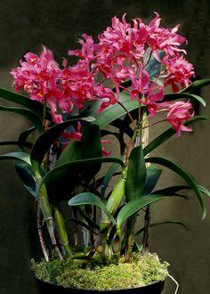 Cattleya guatamalensis - Flickr - Photo Sharing!