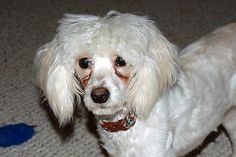 Learn six ways to clean tear stains and discharge from your dog's eyes and surrounding hair.   Dog Fancy