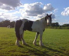 Prince, another of our stallions, son of King