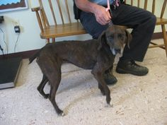 #OHIO #URGENT ~ Hoover is a Plott Hound / Mtn Cur mix in need of a loving #adopter / #rescue at HOLMES COUNTY DOG WARDEN 5387 County Rd 349  #Millersburg OH 44654 Ph 330-674-6301