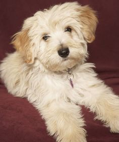 Havanese has a non-shedding coat - Top 10 Family-Friendly Dogs - Pets Tips & Advice | mom.me